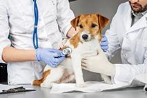 Állatorvosi asszisztens